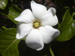 picture Gardenia brighamii flower in white.jpg