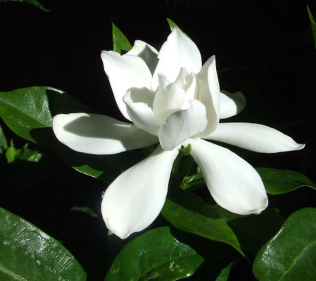 gardenia flowers pictures gallery  photos, Natural flower