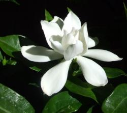 picture of White Gardenia flower.jpg