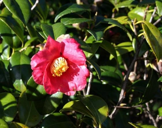 Pink gardenia flower pictureg 1 comment pink gardenia flower pictureg mightylinksfo
