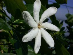 Tahitit Gardenia flower photos.jpg
