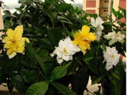 White and yellow Gardenia flowers.jpg