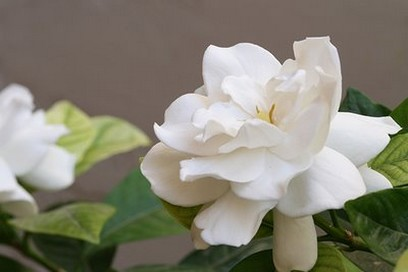 white garden flowers Gardenia photos.jpg