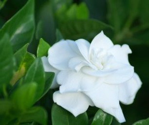 gardenia flowers pictures gallery  photos, Beautiful flower
