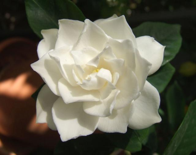 White Gardenia flower picture.jpg