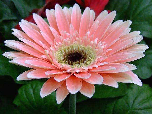 Pink Gerbera daisy.jpg