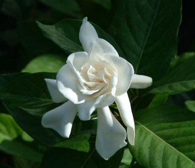 Gardenia flowers white picture.jpg