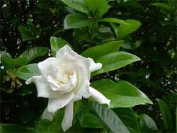 Gardenia garden flowers in white.jpg
