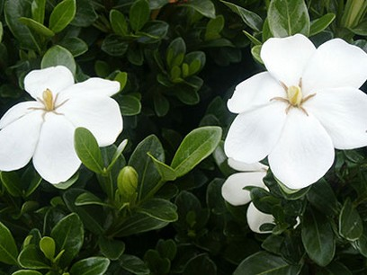 Gardenia jasminoides flowers in white colorg mightylinksfo