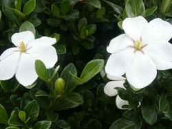 Gardenia jasminoides flowers in white color.jpg