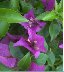 beautiful tropical purple flowers picture.jpg