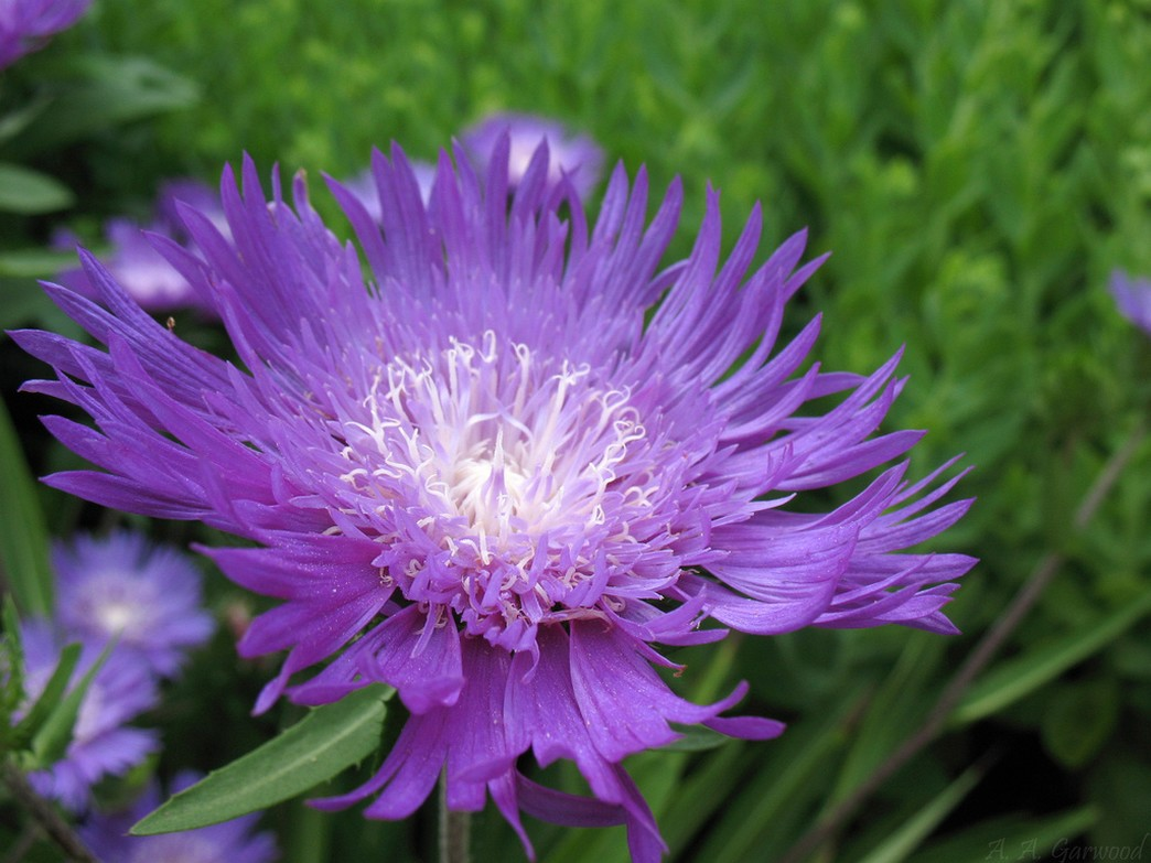 Big purple flower with white center ID'ed as Stokes Aster