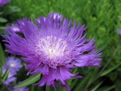 Big purple flower with white center ID'ed as Stokes Aster aka Stokesia Laevis.jpg