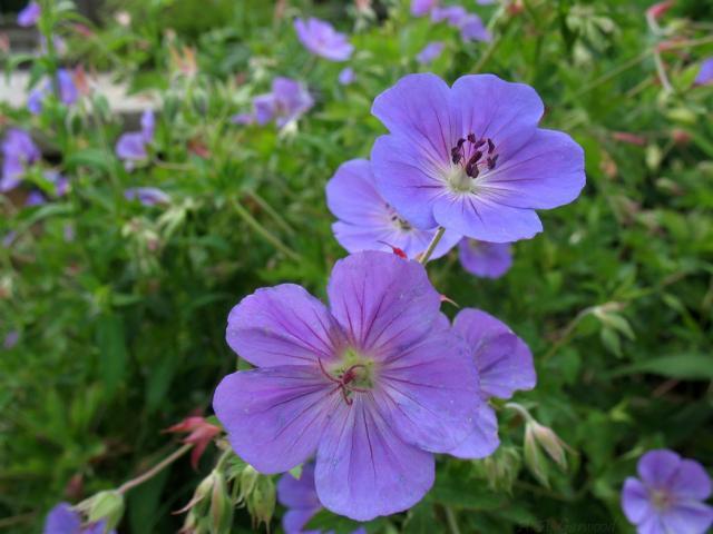 Blue Purple Flowers Image Jpg