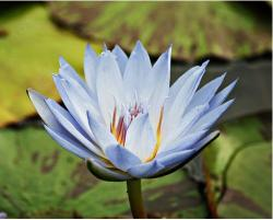 bluish purple waterlily.jpg