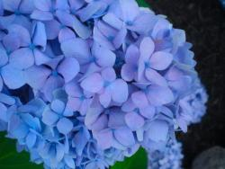 CLose up picture of Hydrangea flowers in blue purplish color.jpg