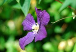 Dark Purple Clematis Flower.jpg
