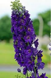 Dark purple Delphinium flower photo.jpg