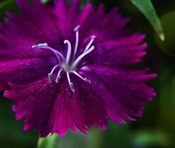 Dark purple Marco flower iamge.jpg
