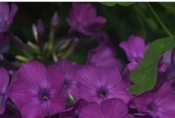 Dark purple flowers image.jpg