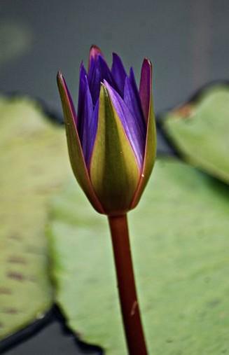 purple lily flower plant - photo #25