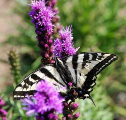 flowers in purple with a beautiful butterfly in white and black.jpg