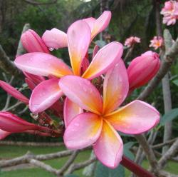 pretty tropical Plumeria flowers.jpg