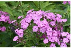picture of pretty purple flowers.jpg