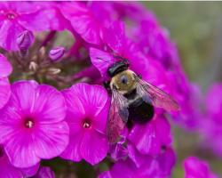 pinkish purple phlox flowers with a bee.jpg