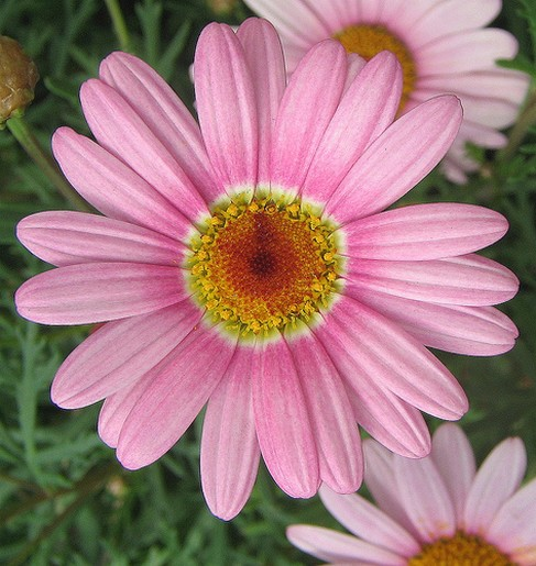 Pink daisy flower with yellow centerg mightylinksfo