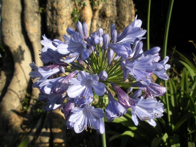 Plants purple flowers photo Identification Agapanthus Lily of the Nile.jpg