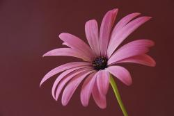 pink daisy flower with purple center.jpg