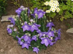 purple balloon flower.jpg