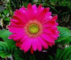 pink daisy flower with green center.jpg