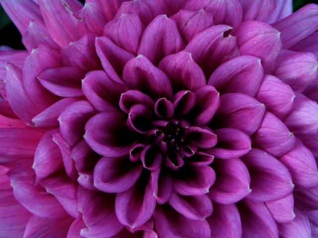 purple dahlia flowers picture   2  ments hi res 720p hd