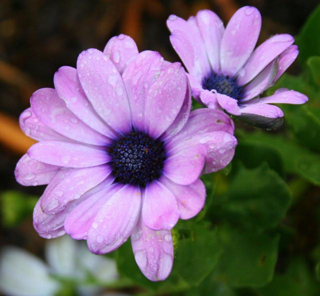 Purple Daisy Flower: Purple Daisy Flowers With Dark Purple Centers.jpg Hi-Res