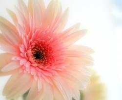 pink daisy flower pictures.jpg