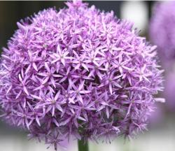 purple garden flowers likely Allium Giganteum.jpg
