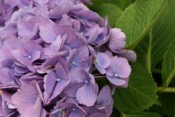 purple hydrangea with bridal flowers.jpg