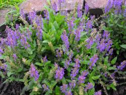purple sage flowers pictures.jpg