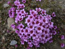 Purple Saxifrage flowers picture.jpg