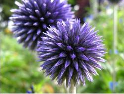 Purple Spike flowers photo.jpg