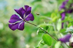 purple star shaped flower.jpg