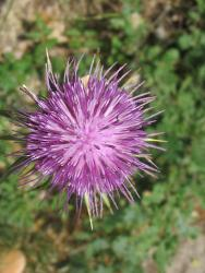 Purple Tuscany flower picture.jpg