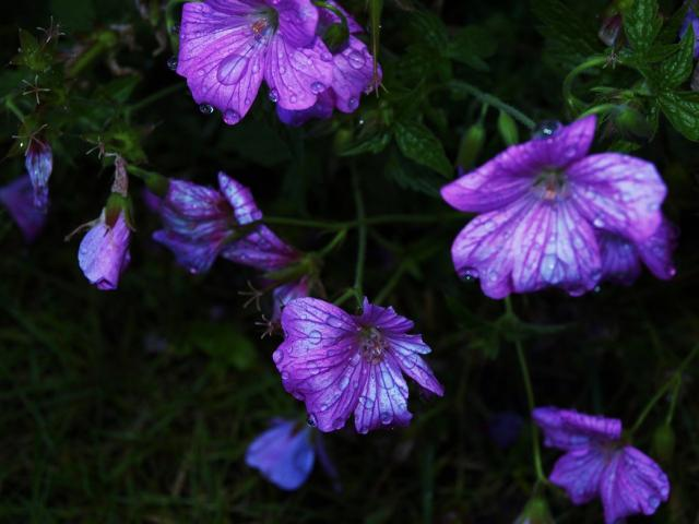 Purple Flowers Pictures P 6