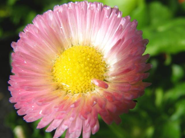 pink daisy close up picture.jpg