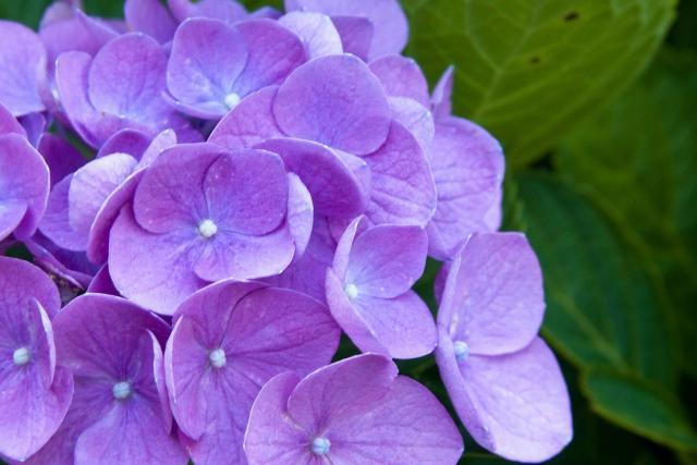 Flores púrpuras pequeñas - buscar en imágenes