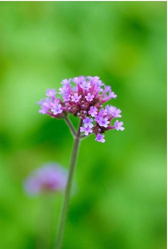 Tiny Purple Flowers Image Jpg