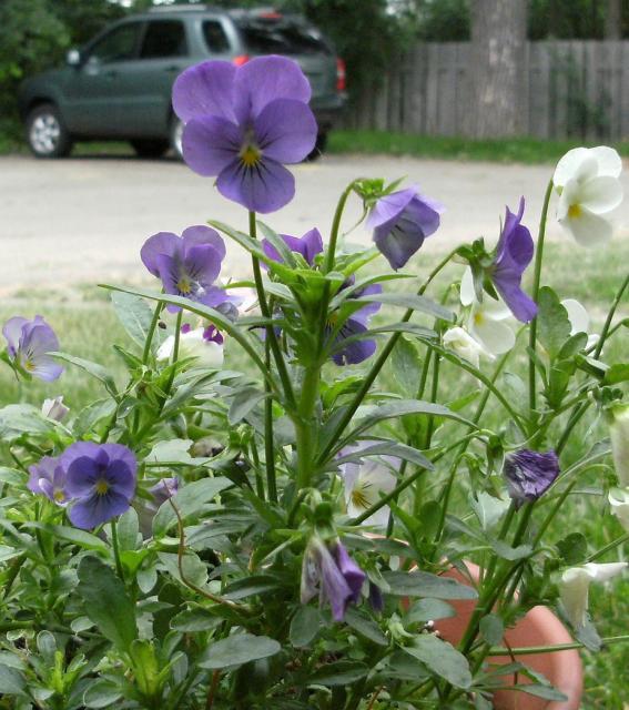 White And Purple Garden Hi Res 720p Hd