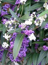 white and purple Hardenbergia violacea flowers.jpg